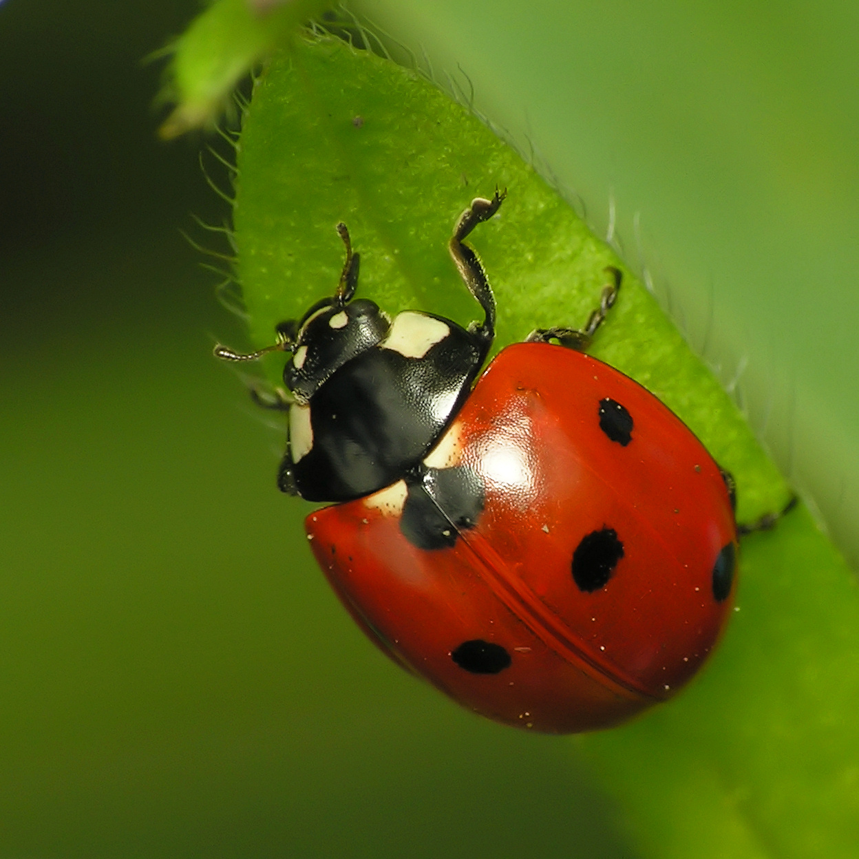 lucky lady bird